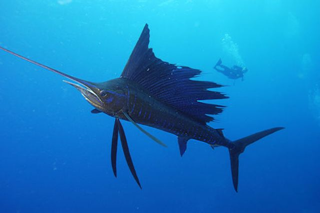 Cá buồm