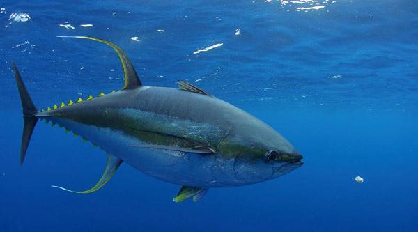 Cá ngừ vây vàng
