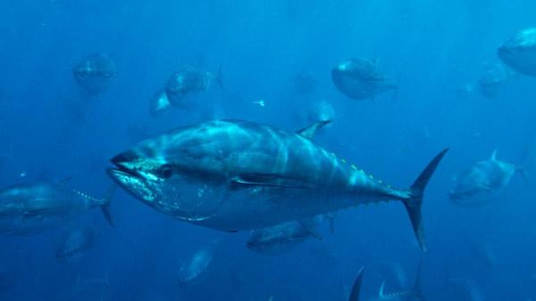 Cá ngừ vây xanh Đại Tây Dương