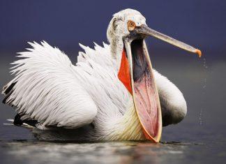 Chim bồ nông Dalmatia
