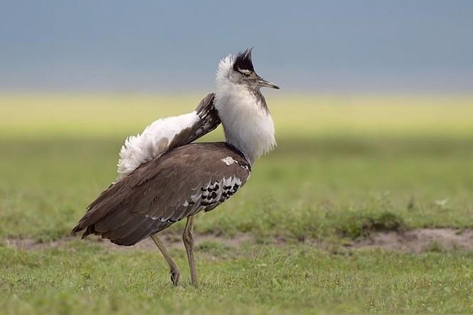 Chim ô tác Kori