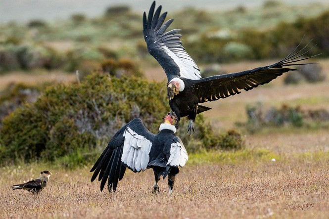 Chim thần ưng Andes