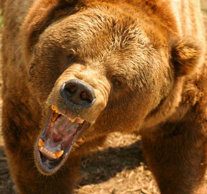Gấu xám Bắc Mỹ