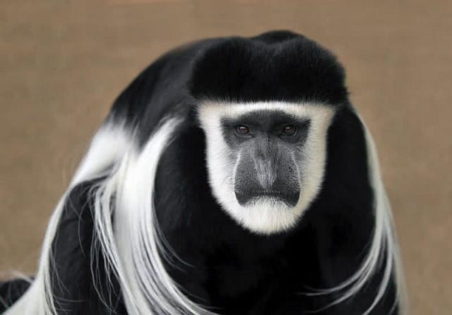 Khỉ Guereza