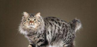Mèo Mỹ Đuôi Cụt