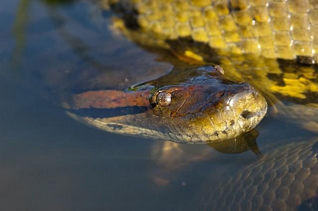 trăn nam mỹ anaconda